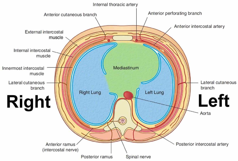 mediastinum cavity
