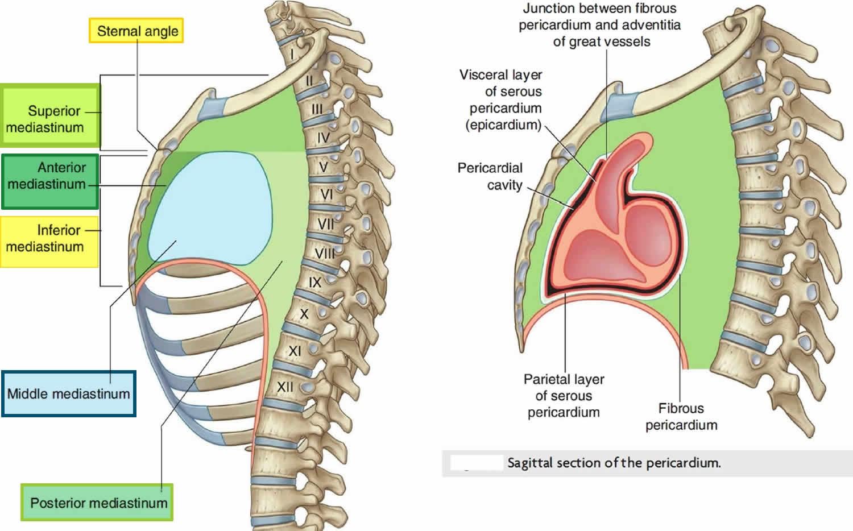 mediastinum anatomy
