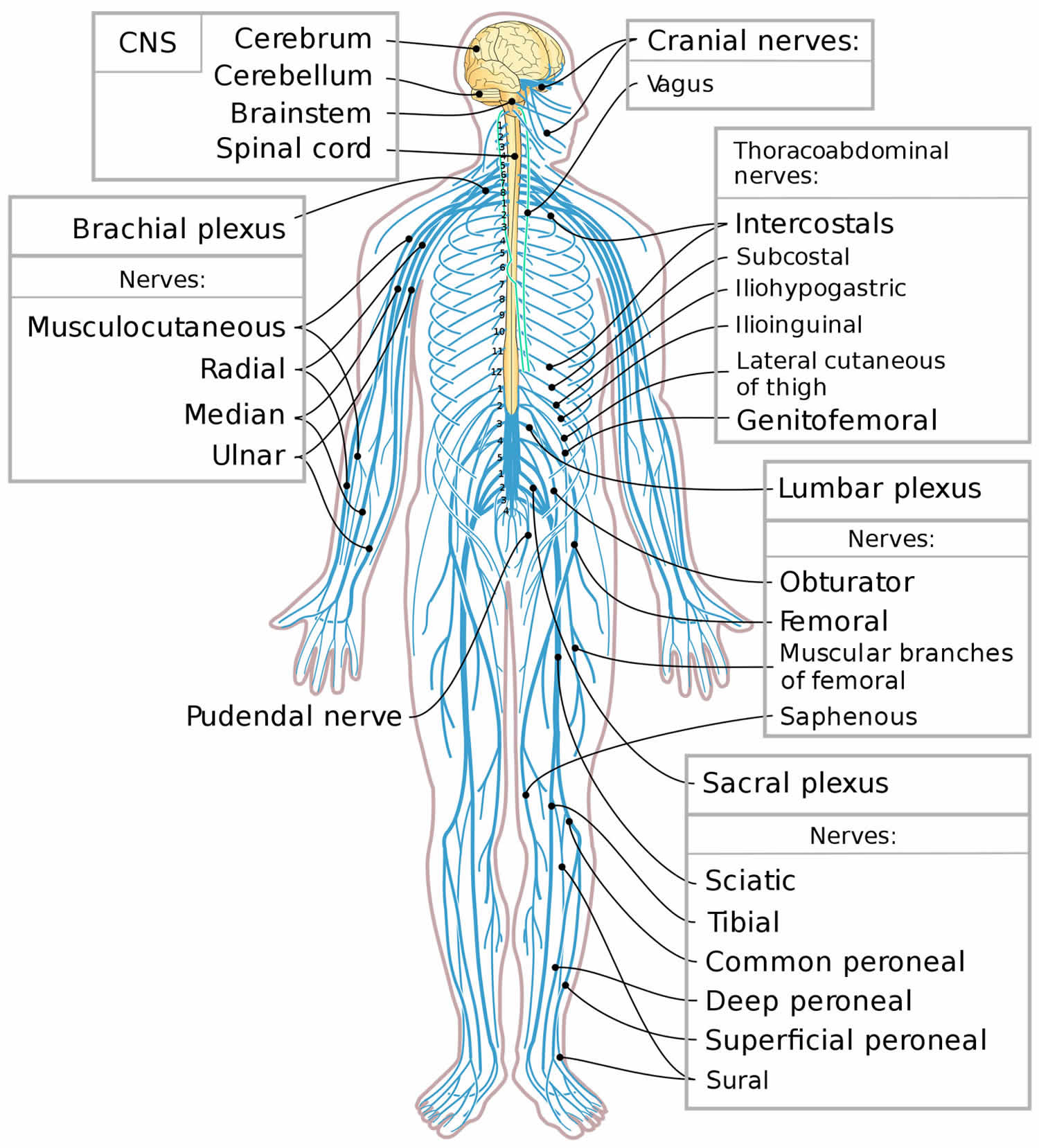 Peripheral nervous system parts, divisions & peripheral ... | 1500 x 1658 jpeg 226kB