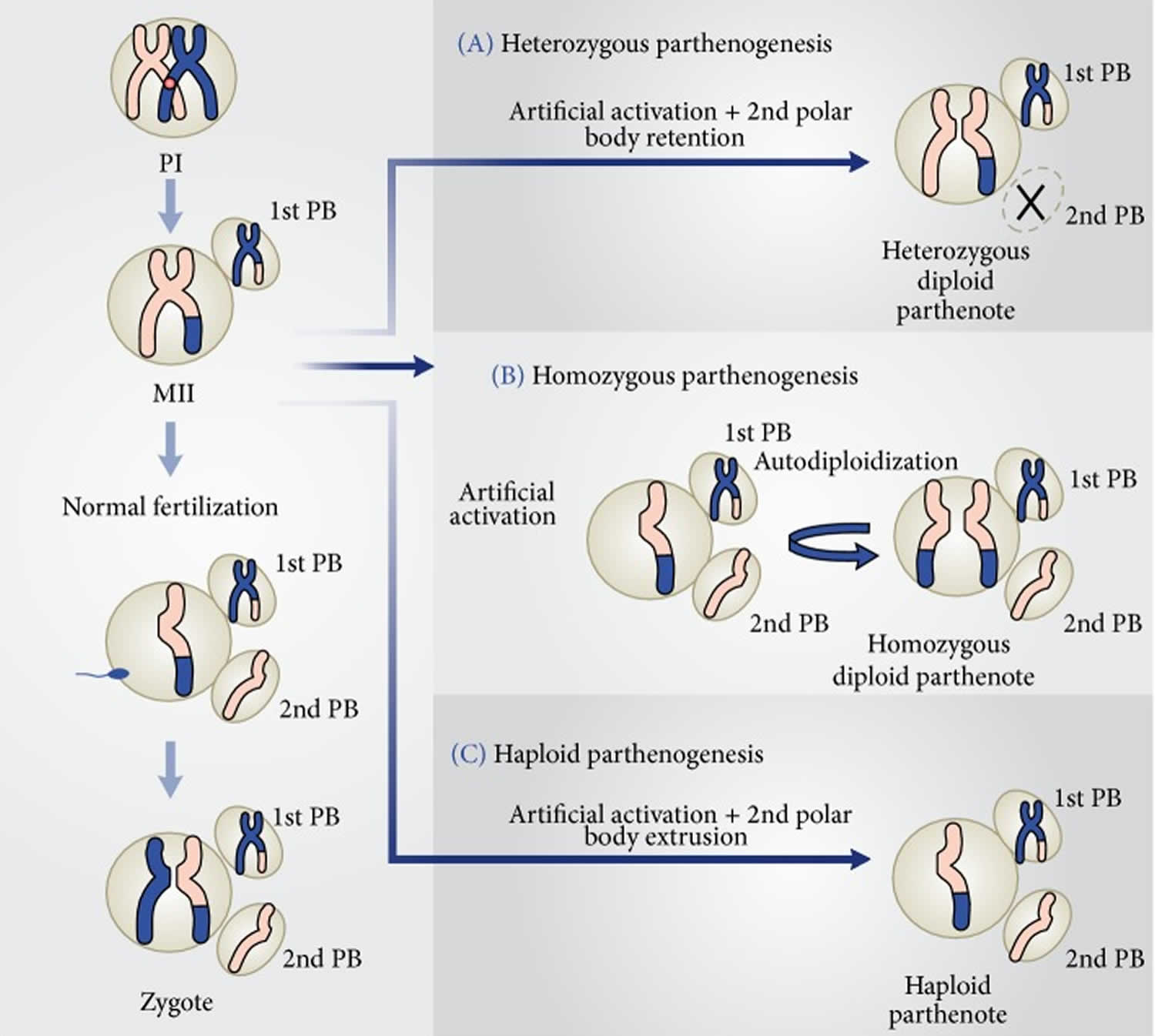Parthenogenesis Definition  Types Of Parthenogenesis